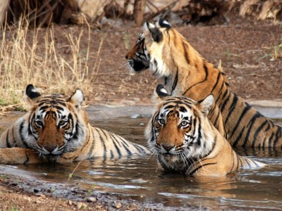 Golden Triangle Tour with Wildlife of India Package By Tour My India