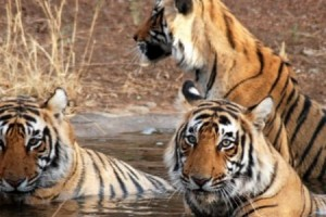 Golden Triangle With Ranthambore Tour Package by Indian Holidays