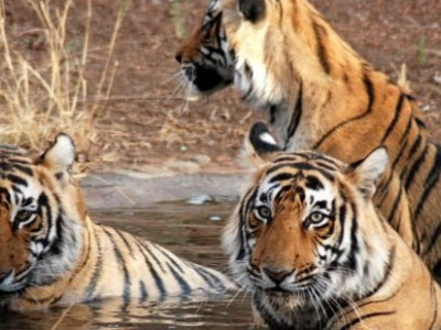 Golden Triangle With Ranthambore Tour Package From Indian Holidays