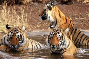 Wild Life & Golden Tour Package By Idiscoverindia