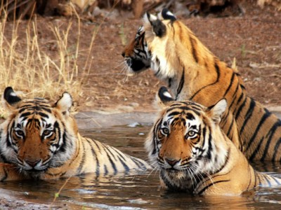 Wild Life With Golden Triangle Tour Package From Idiscoverindia