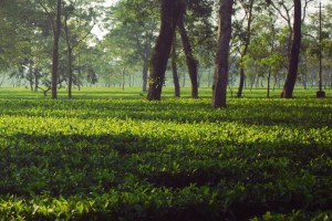 Tea City Of Assam Tour Package