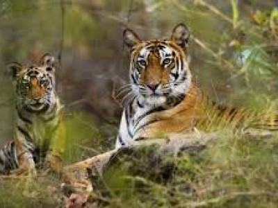 Central India Tigers &  Taj Tour Package By India Tour Online