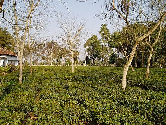 Jorhat Tea Garden