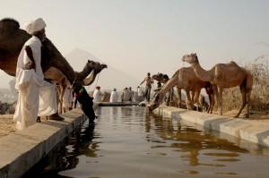Camels in Puskar Mela in Rajasthan India