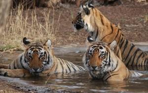 Bandhavgarh Tigers