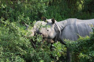 The Rhino Land Kaziranga
