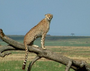 Masai Mara Chitah