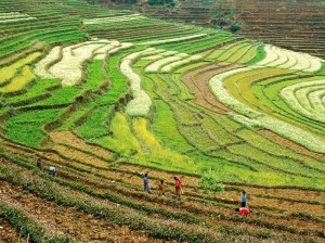Pelling Rice Fields