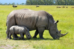 kruger rhino with baby