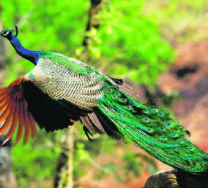Manas National Park Bird