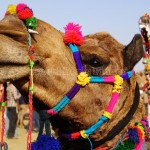 Pushkar Fair with Rajasthan Palaces Tour 2013 from mypushkarfair