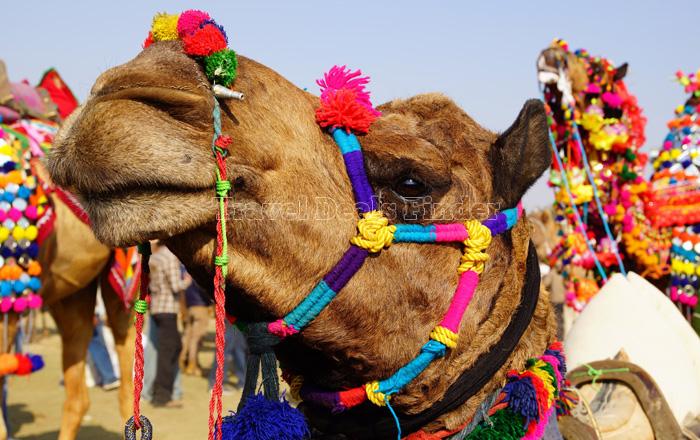 Camel_95704279