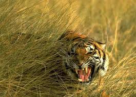 Sunderbans Tiger