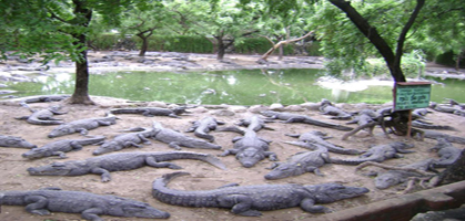 Crocodile Farm[
