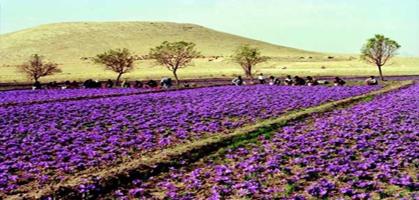Saffron Feild,  Pahalgam