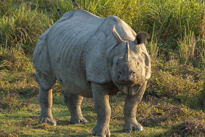 Rhinoceros unicornis-Articl