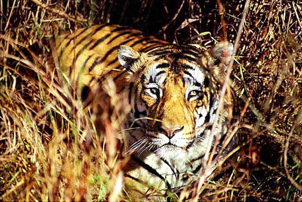 Bengal Tiger in Kanha National Park