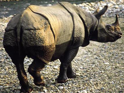 Assam Rhino