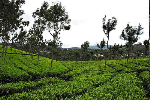 Conoor Tea Garden