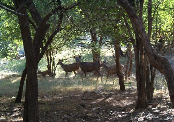 Deer Inside simlipal national park
