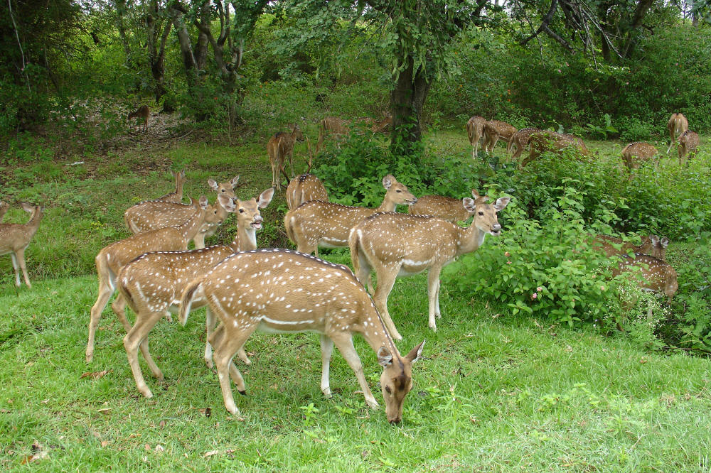 Deer in Bandipur National Park