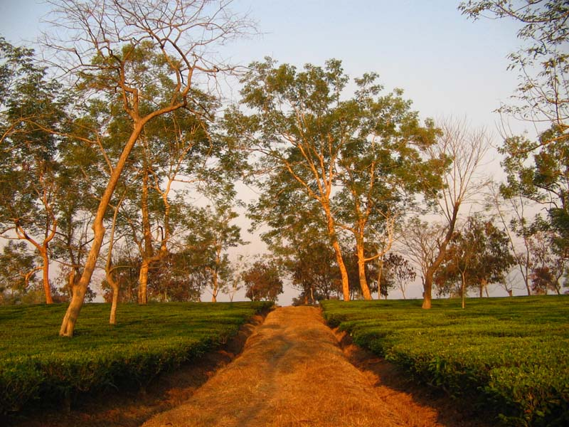 Dispur tea garden