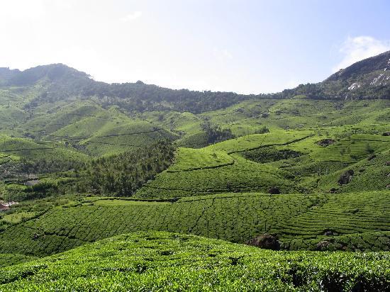 Kerala tea plantation