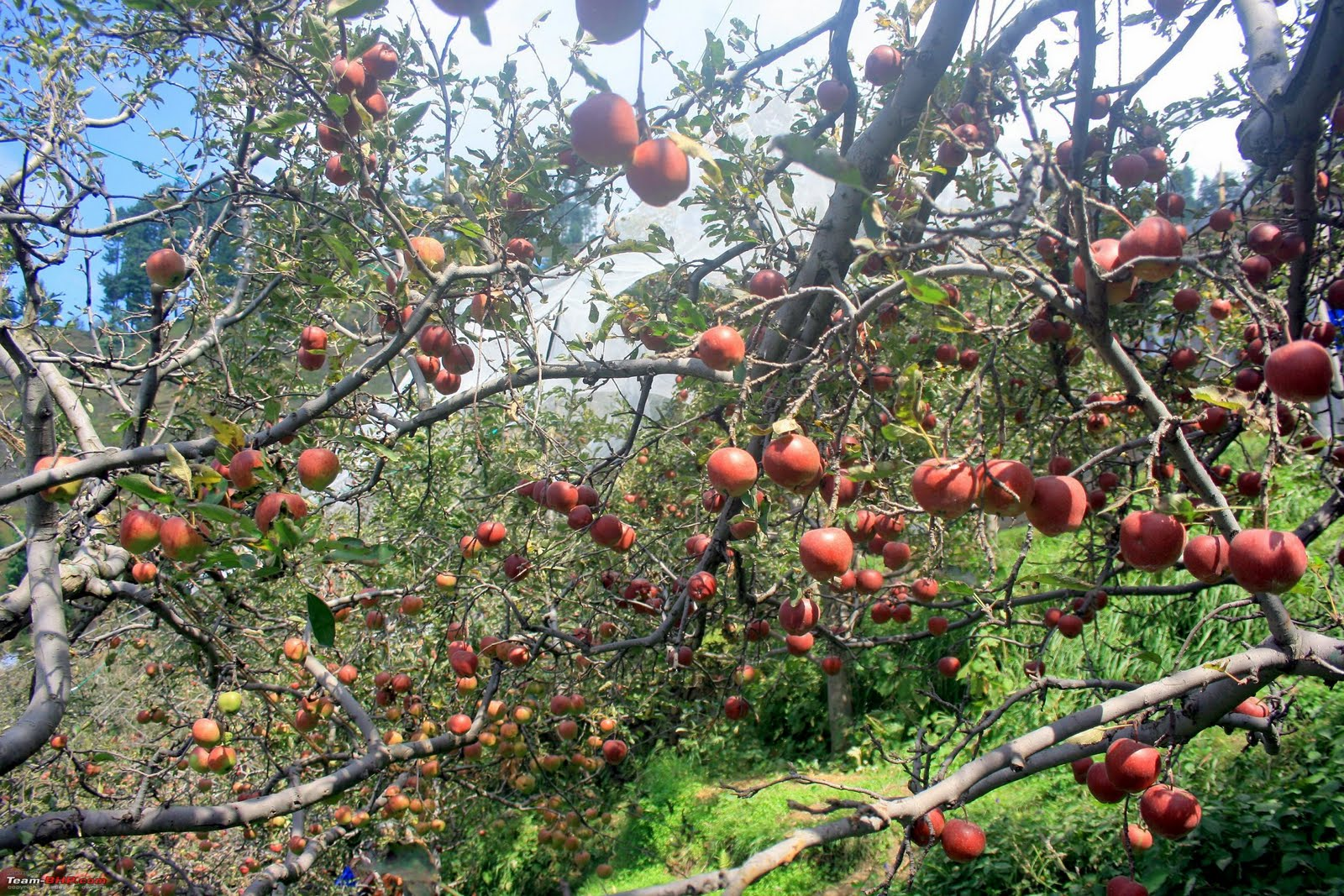 Kinnaur Apples