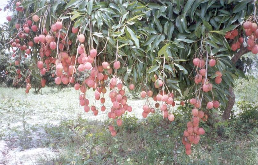 Lichi Fruit of Patna