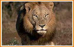 Nokrek National Park lion