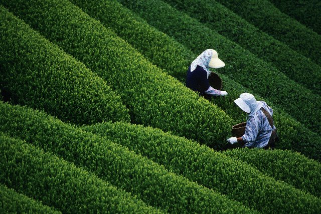 Women Harvesting Tea in Assam