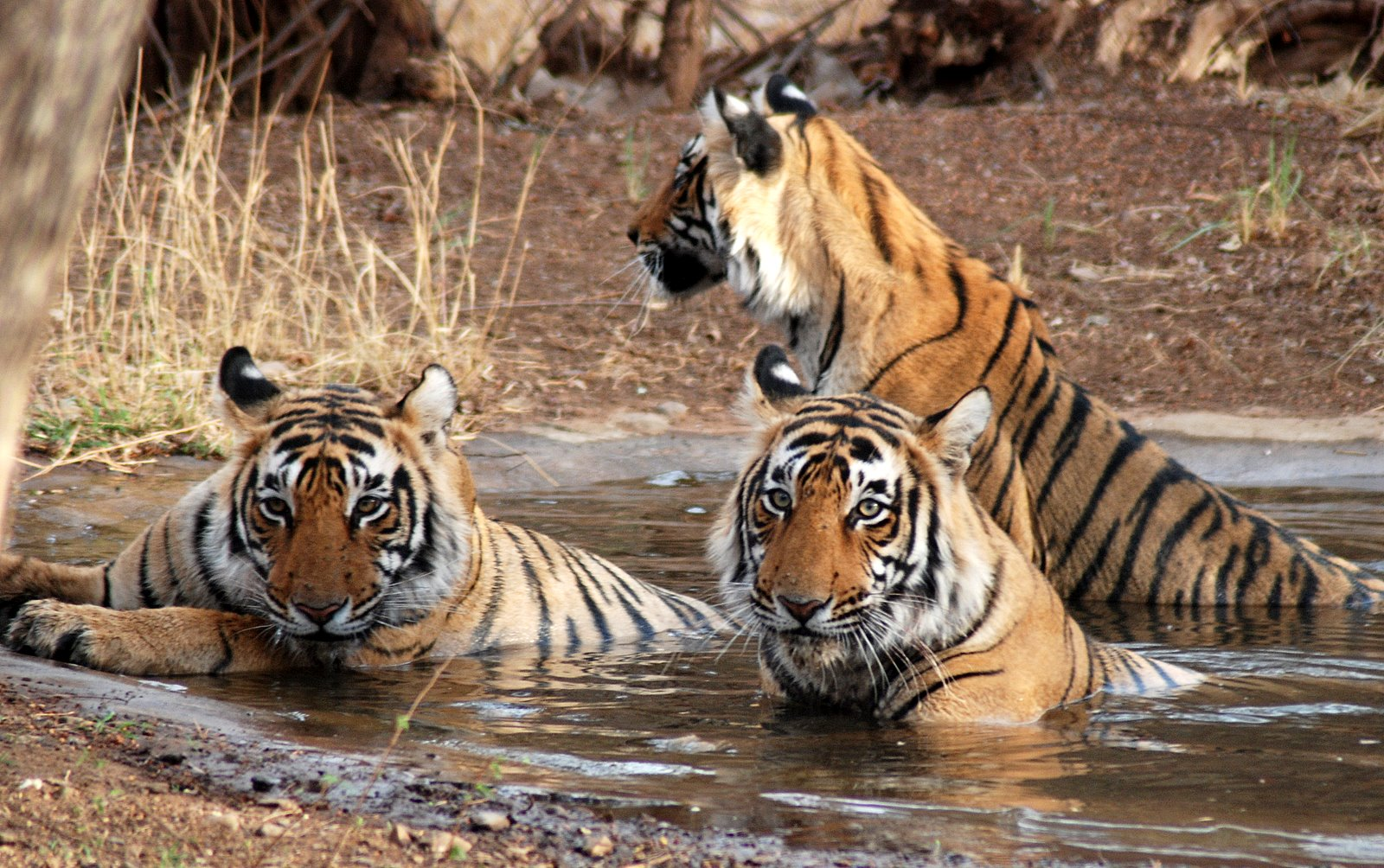 Three tigers in Ranthambore National Park