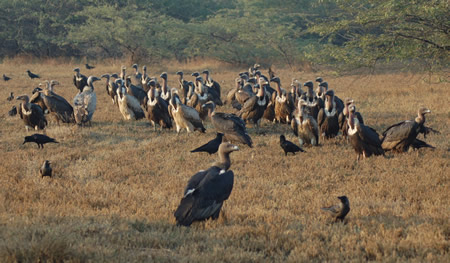 Vulture nature club surat