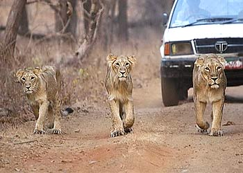 Asiatic lions gir wildlife