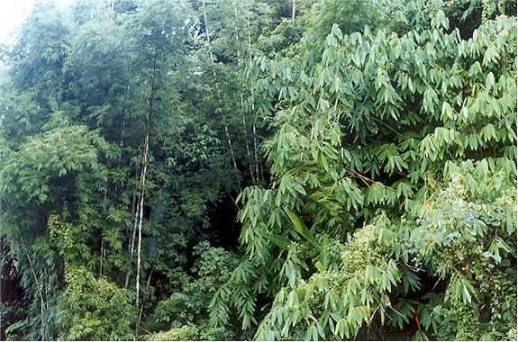 bamboo forest arunachal pradesh