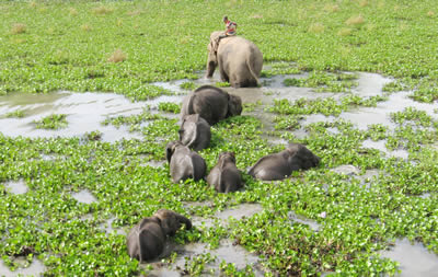 Elephant calves trained to cross water body
