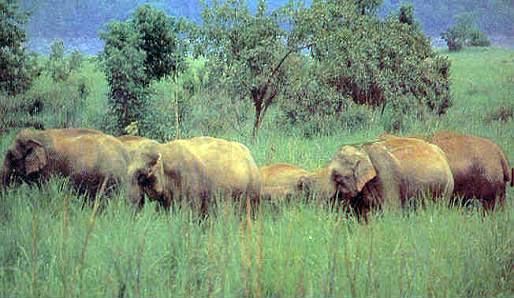 Elephants in Namdapha National Park
