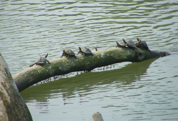 Fresh water Turtles