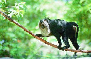 Lion Tailed Macaque in Manas National Park