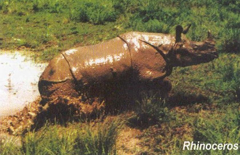 Rhino in Nagaon, Assam