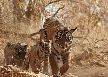 Tiger in Manas Wildlife